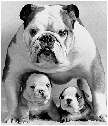 Maman bulldog